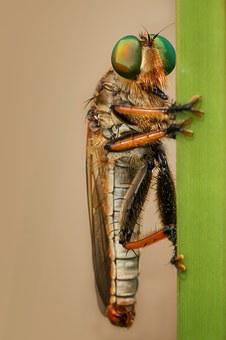 Robberfly, Insect, Macro, Nature, Green, Robber-fly