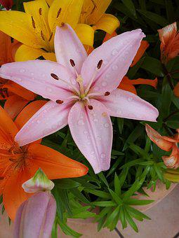 Flower, Lily, Pink, Iris, Nature