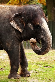 Animal, Asian, Brown, Teeth, Elephant, Herbivore, Huge