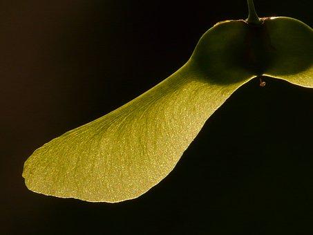Maple Fruit, Maple, Tree, Green, Norway Maple