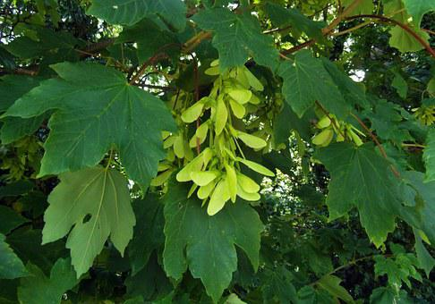 Maple, Seeds, Odenwald, Tree