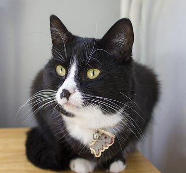 Cat, Cats, Pet, Animal, Animals, Cat Face, Mammal