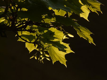 Maple, Maple Leaf, Leaf, Tree, Green, Veins