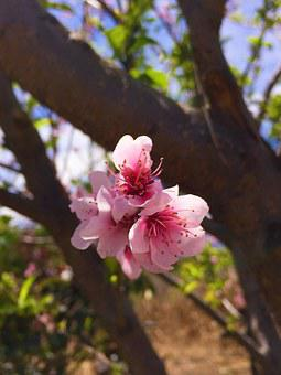 Flower, Pink, Nature, Leaf, Petal, Rosa, White, Chic