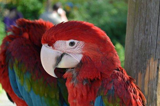 Ara, Parrot, Bird, Birds