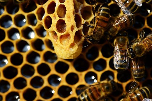 Queen Cup, Honey Bee, New Queen Rearing Compartment