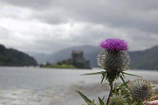 Thistle, Scotland, Scottish, Symbol, Purple