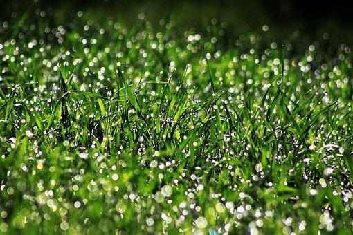 Field, Wheat, Spike, Bokeh, Rain, Drop