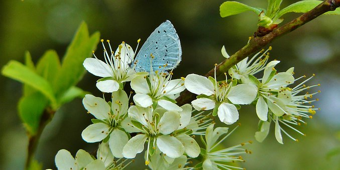 Common Blue, Butterflies, Lycaenidae, Blue Tint, Wing