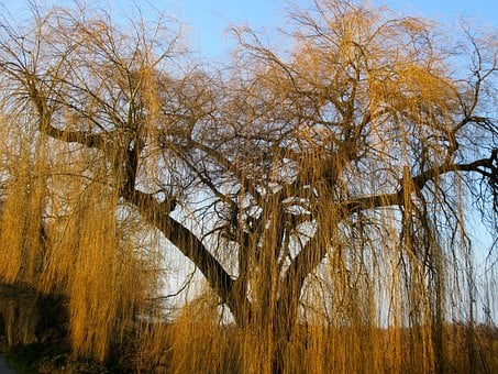 Weeping Willow, Pasture, Tree, Aesthetic, Branches