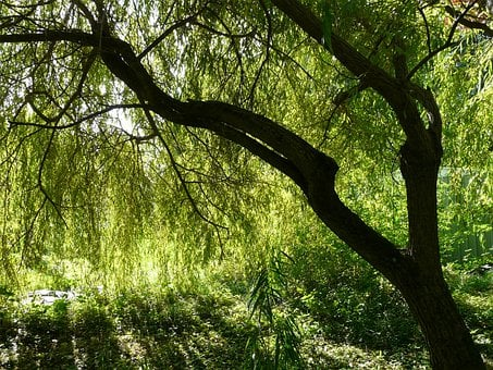 Pasture, Tree, Depend, Salix Babylonica, Weeping Willow