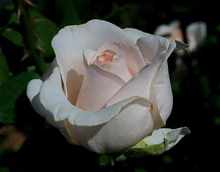 Rose, Bloom, Bud, Flower, White, Pink Tint, Shapely