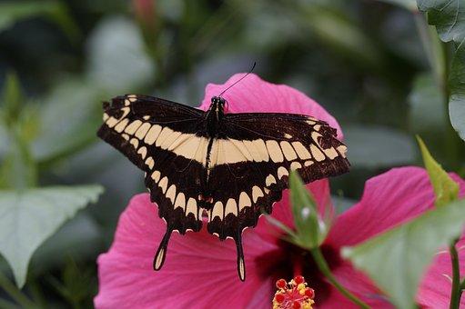 Dovetail, Butterfly, Blossom, Bloom, Flower, Flutter