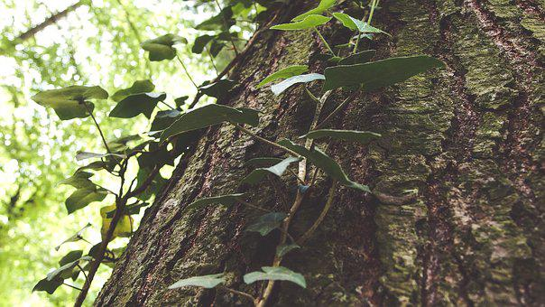 Bark, Climber, Forest, Green, Nature, Park, Plant