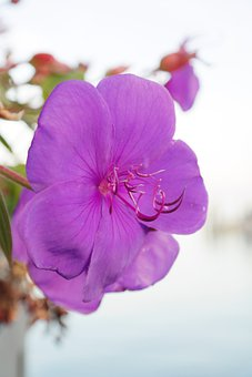 Container Plant, Blossom, Bloom, Violet, Purple, Flower