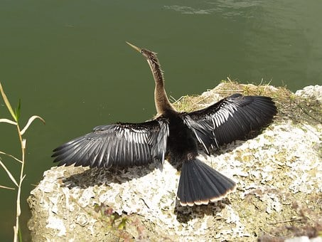 Anhinga, Snakebird, Darter, Water Turkey, Secret Crow