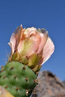 Cactus, Prickly Pear, Cactus Greenhouse, Prickly, Plant
