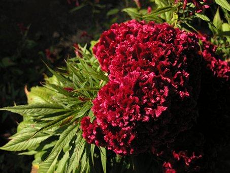 Celosia, Red Velvet, Flower, Nature
