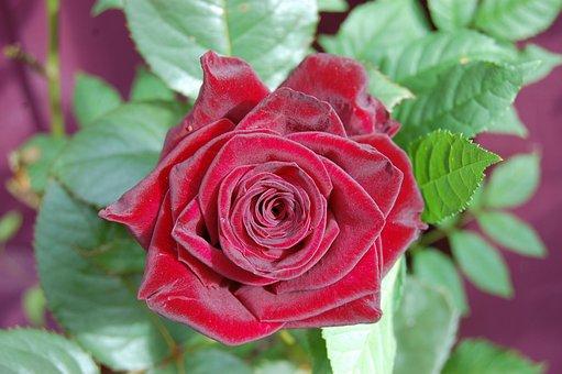 Red Rose, Rose, Flower, Red, Love, Valentine, Petals