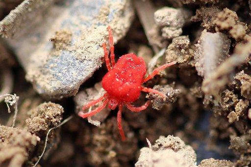 Mite, Red Velvet Mite, Trombidium Holosericeum