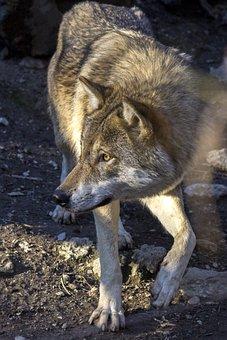 Wolf, Predator, Hunter, Canis Lupus, Attention, Paw