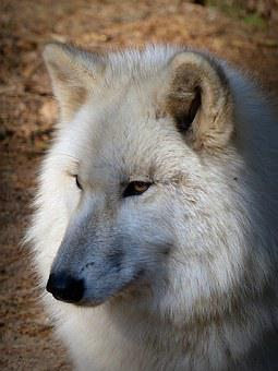 Wolf, Wild Animal, Predator, Carnivores, Animal World