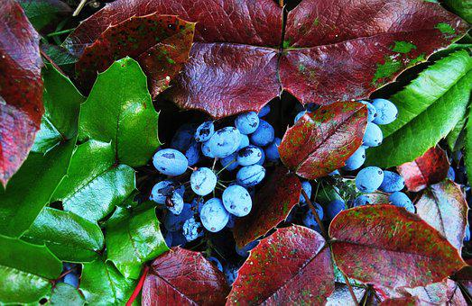 The Oregon-grape Berries, Evergreen Bush, Berries