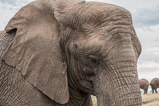 Elephant, Trunk, Skin Care, Big, African, Endangered