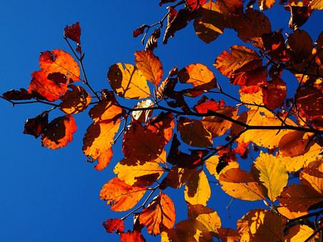 Leaves, Fall Foliage, Golden, Fall Color, Colorful