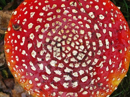 Fly Agaric, Become Larger, Mushroom Hat, From Above