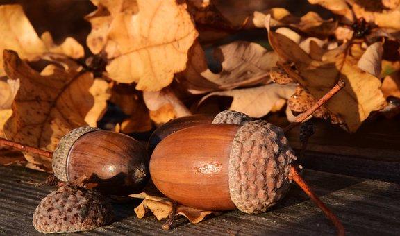 Acorns, Leaves, Autumn, Fruit, Tree Fruit, Seeds