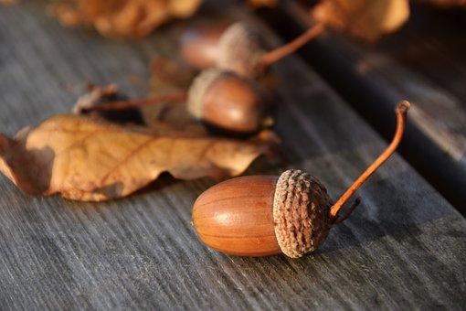 Acorns, Nature, Autumn, Tree Fruit, Oak, Oak Leaves