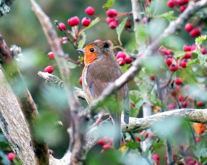 Robin, European, Bird, Animal, Rubecula, Erithacus