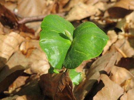 Fagus Sylvatica, European Beech, Common Beech, Sprout