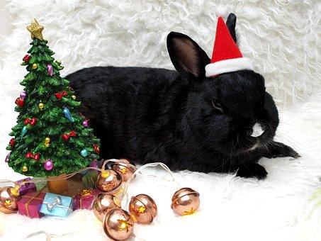 Rabbit, Hare, Munchkins, Long Eared, Animal, Pet