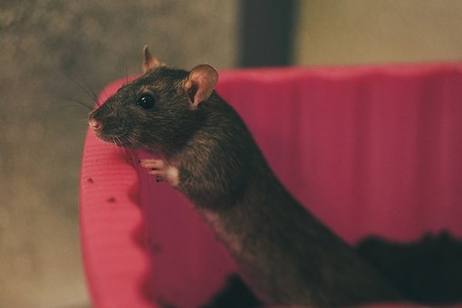 Rat, Color Rats, Sweet, Smart, Rodent, Nager, Animal