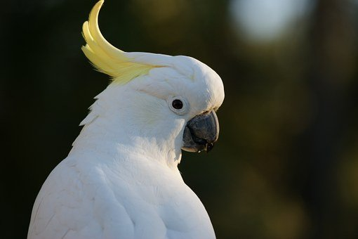 Cockatoo, Sulphur Crested Cockatoo, Australia, Bird
