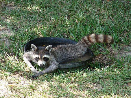 Raccoon, Water, Lazy, Human-like, Cute, Nature, Funny