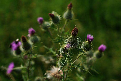 Milk Thistle, Thistle, Purple, Off Thistle, Nature
