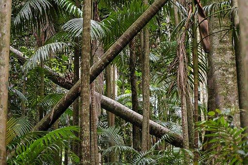 Eucalypts, Gum Trees, Rain Forest, Forest, Australia