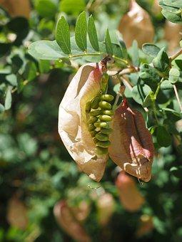 Fruits, Seeds, Yellow Bubble Shrub, Bush