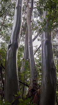 Gum Trees, Eucalypts, Wet, Rain, Trunks, Shiny