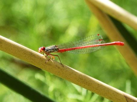 Red Dragonfly, Dragonfly, Stem, Aquatic Environment