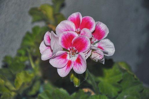 Geranium, Houseplants, Up, Flowers