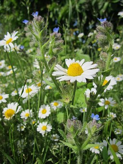 Anthemis Arvensis, Corn Chamomile, Mayweed