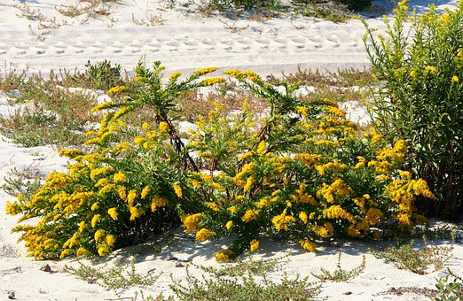 Goldenrod, Solidago, Plant, Flower, Yellow, Pollen