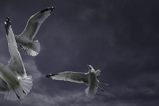 Ring-billed Gull, Seagull, Bird, Animal, Flying, Sky