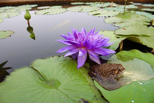 Water Lily, Purple, Blossomed, Blossom, Bloom, Pond