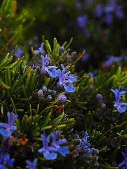 Rosemary, Flowers, Blue, Violet, Rosmarinus Officinalis