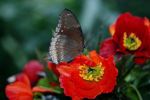 Elymnias Hypermnestra, Butterfly, Animal, Flower